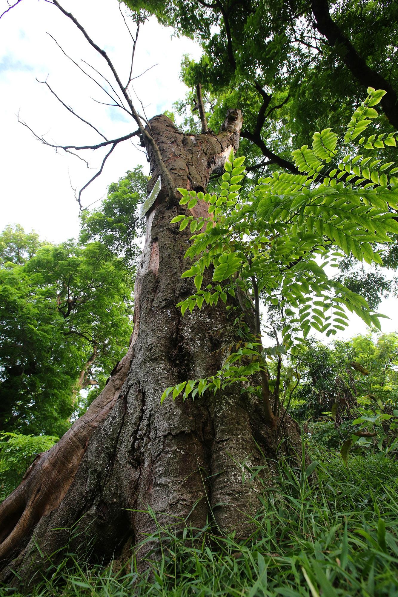 Rừng lim xanh cổ thụ hơn nghìn năm tuổi ngay tại Hà Nội - 13