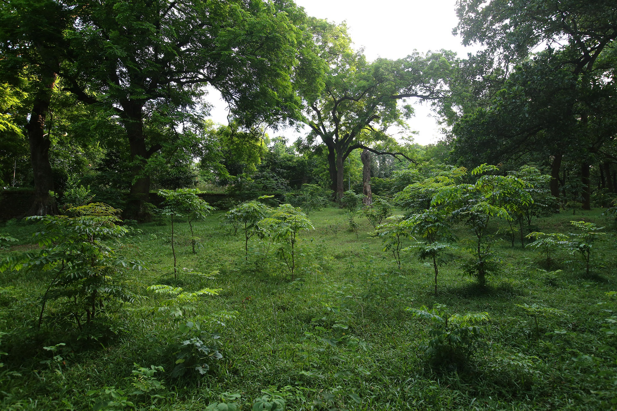 Rừng lim xanh cổ thụ hơn nghìn năm tuổi ngay tại Hà Nội - 15