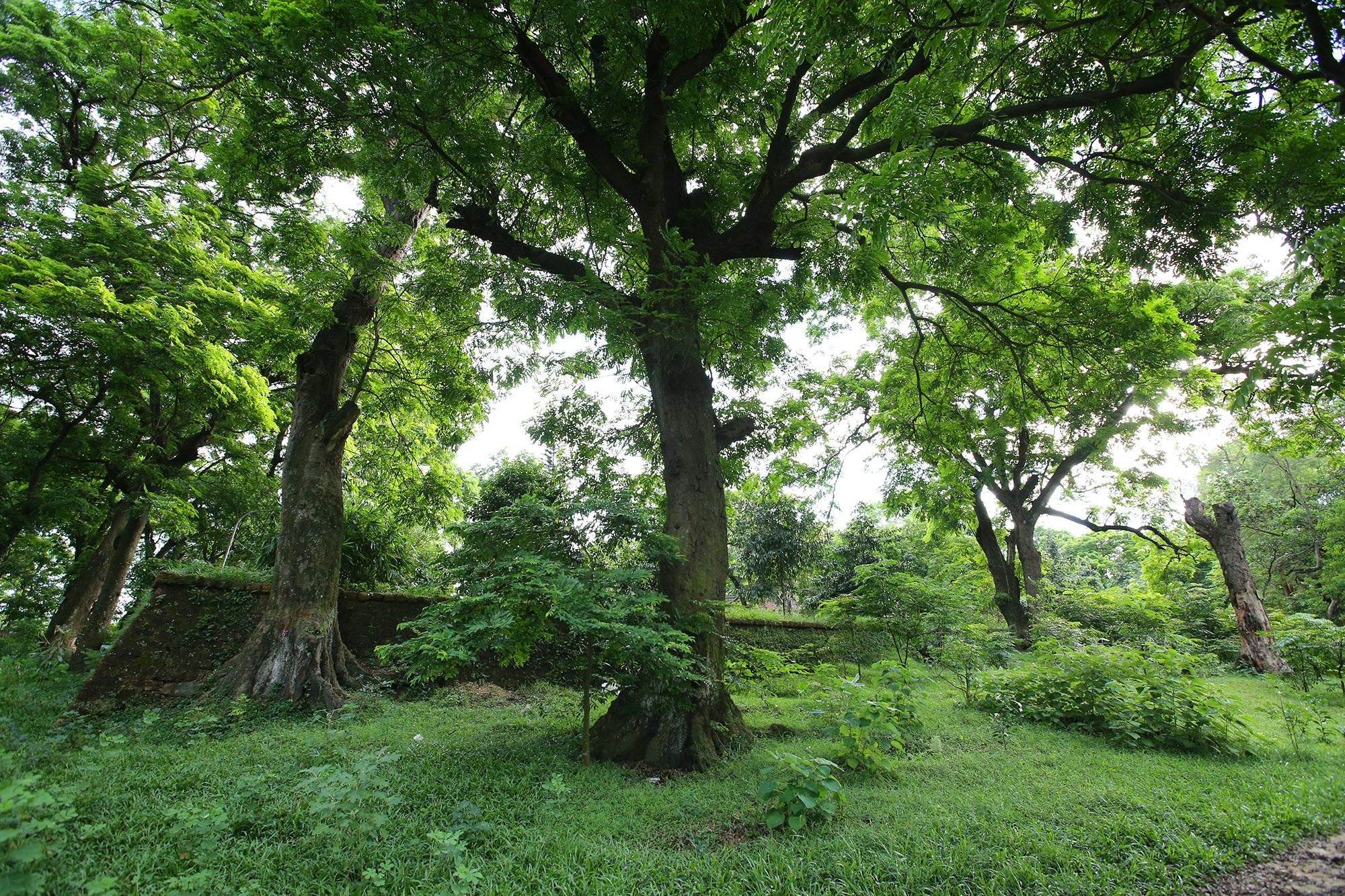 Rừng lim xanh cổ thụ hơn nghìn năm tuổi ngay tại Hà Nội - 2