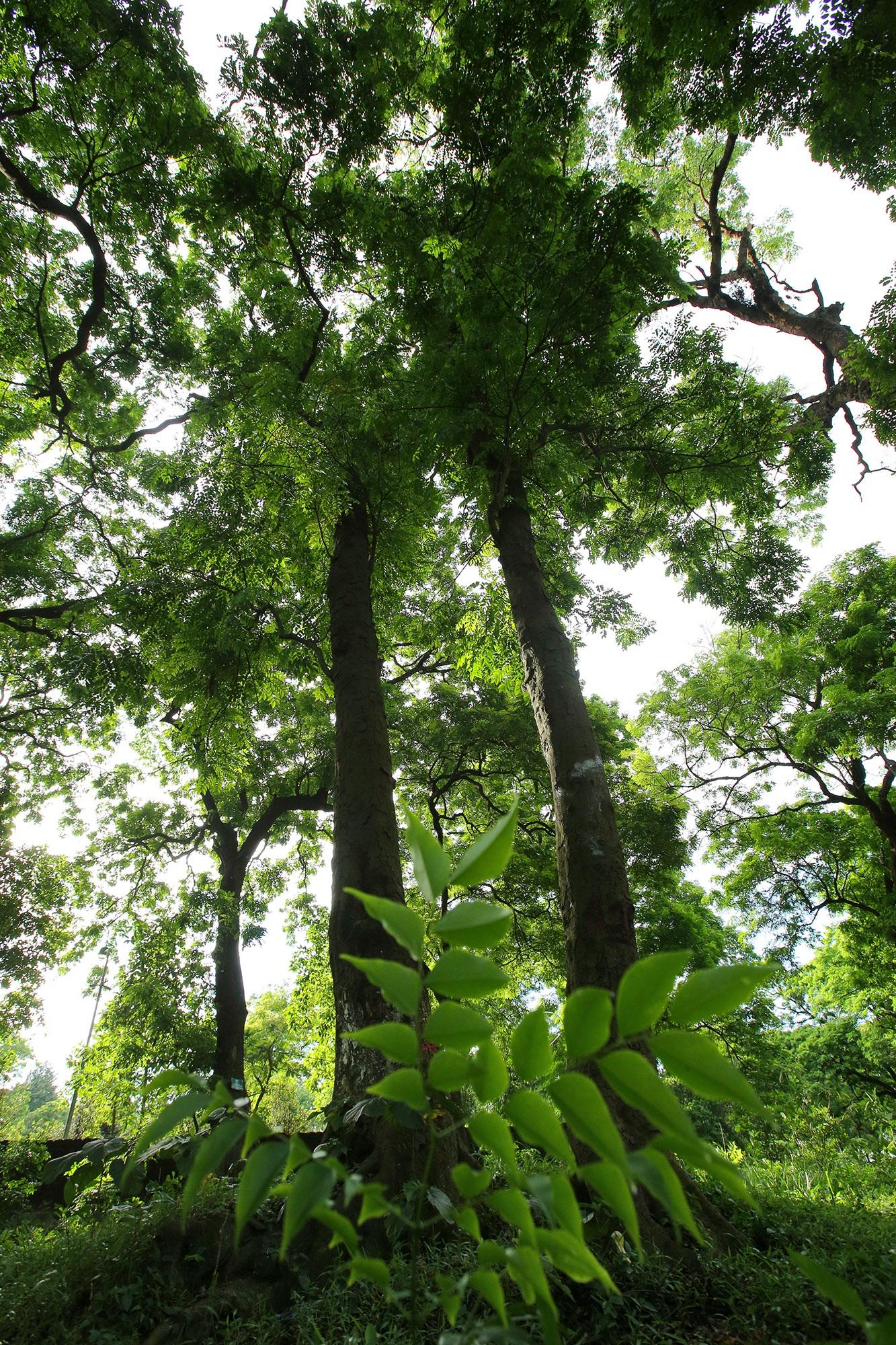 Rừng lim xanh cổ thụ hơn nghìn năm tuổi ngay tại Hà Nội - 5