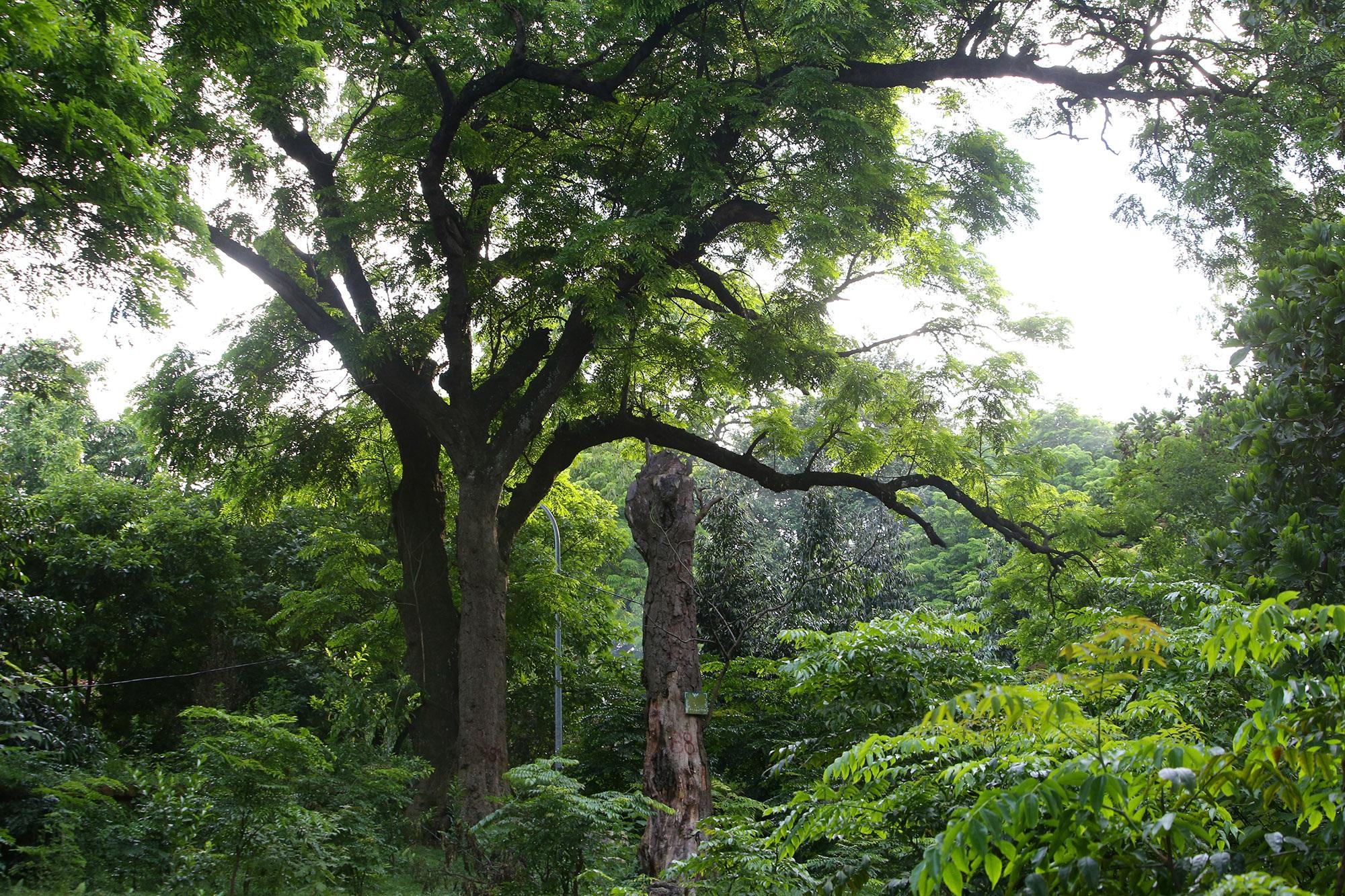 Rừng lim xanh cổ thụ hơn nghìn năm tuổi ngay tại Hà Nội - 7