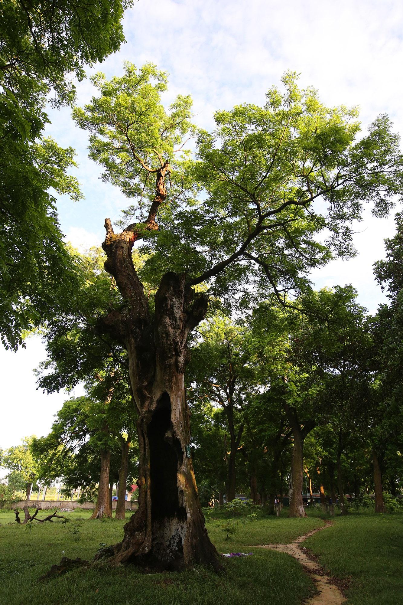 Rừng lim xanh cổ thụ hơn nghìn năm tuổi ngay tại Hà Nội - 9