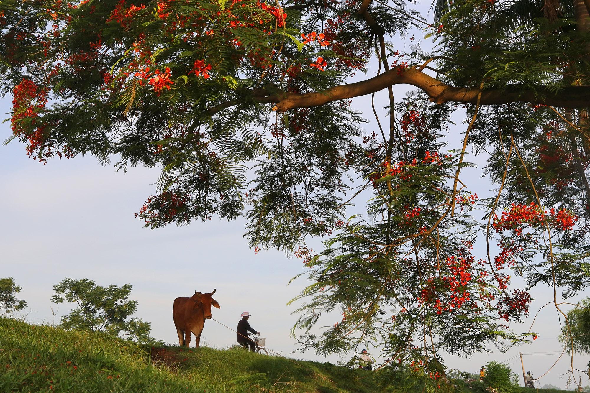 Phong cảnh bình yên nhìn từ những triền đê ở Hà Nội - 14
