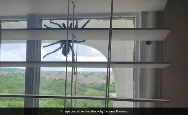 Hoảng hồn phát hiện nhện khổng lồ lơ lửng trên cửa sổ - 1