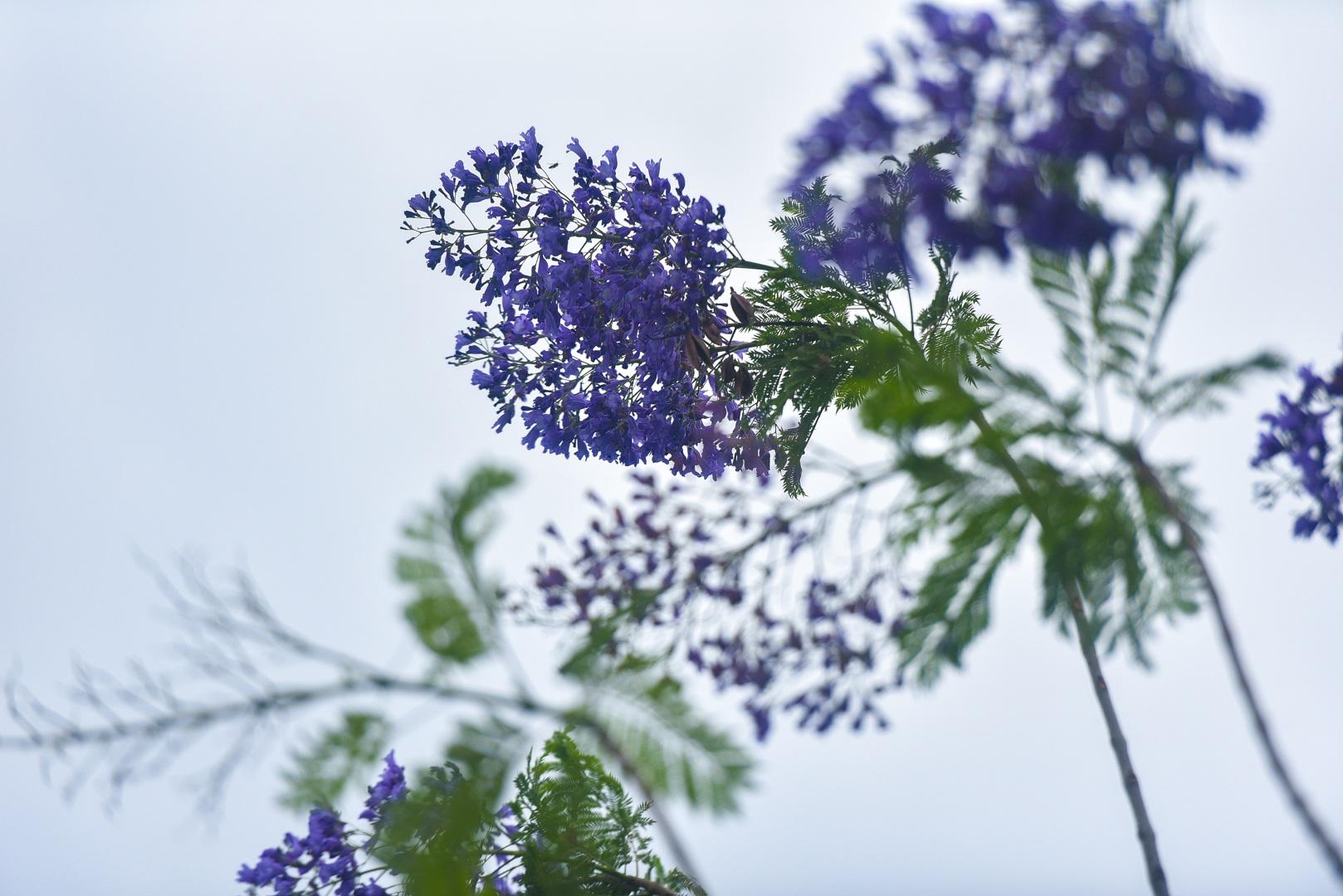 Thổn thức với thức hoa tím khiến người Hà Nội nhớ Đà Lạt - 5