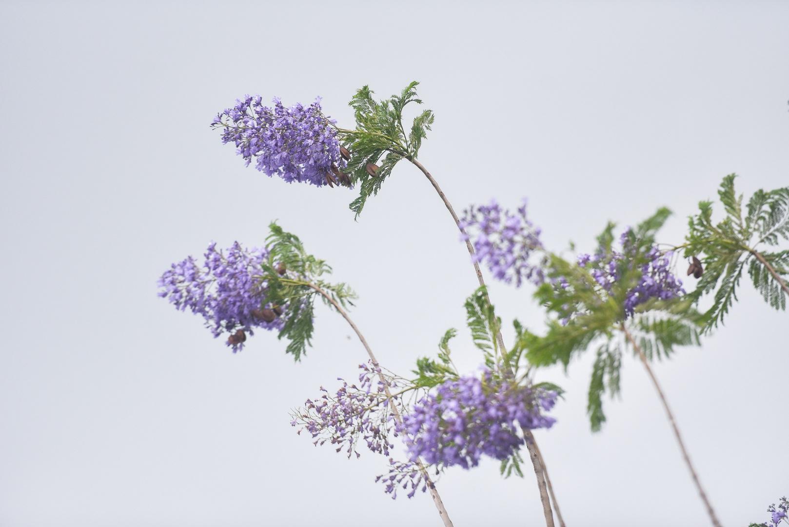 Thổn thức với thức hoa tím khiến người Hà Nội nhớ Đà Lạt - 1