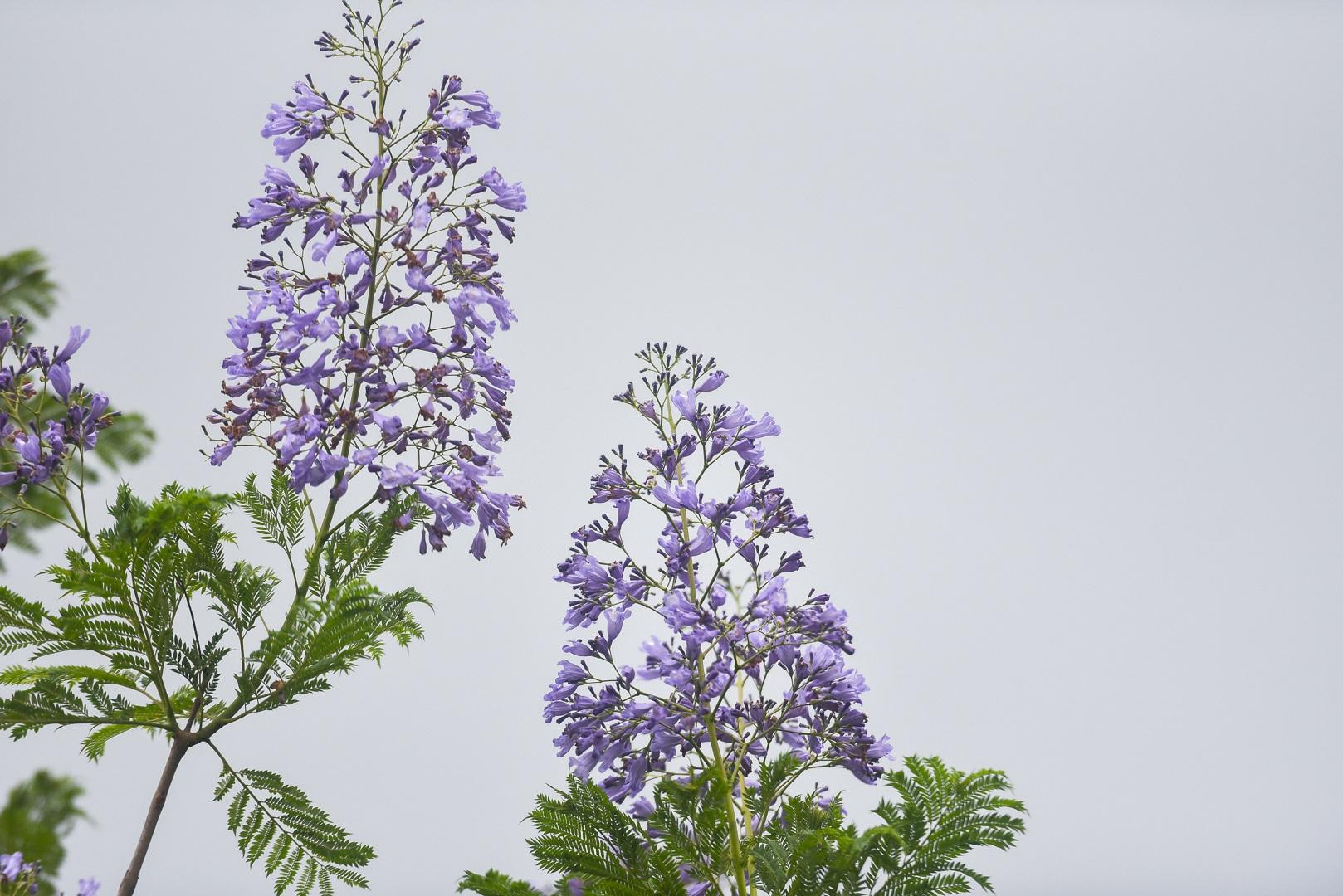 Thổn thức với thức hoa tím khiến người Hà Nội nhớ Đà Lạt - 2