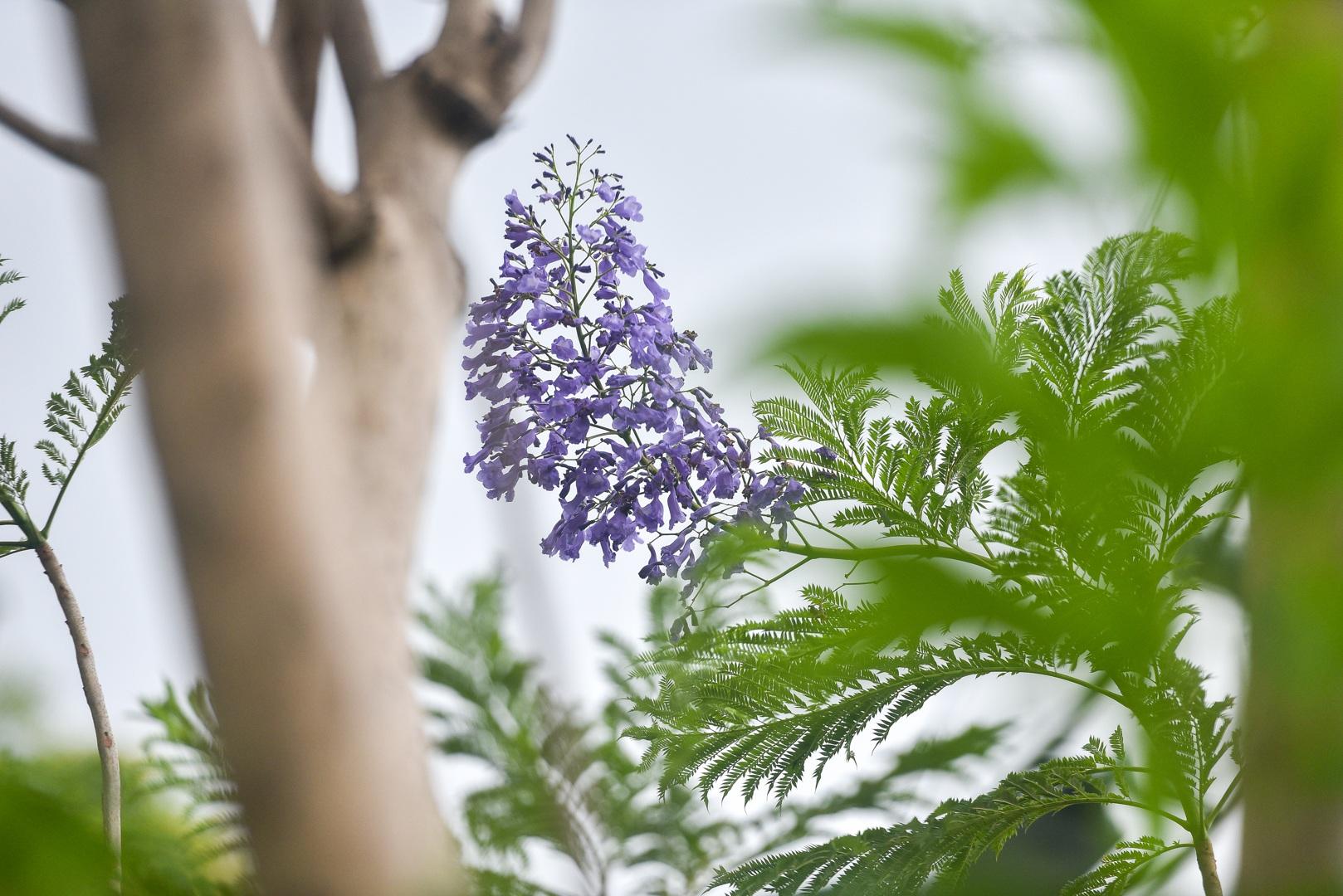 Thổn thức với thức hoa tím khiến người Hà Nội nhớ Đà Lạt - 6