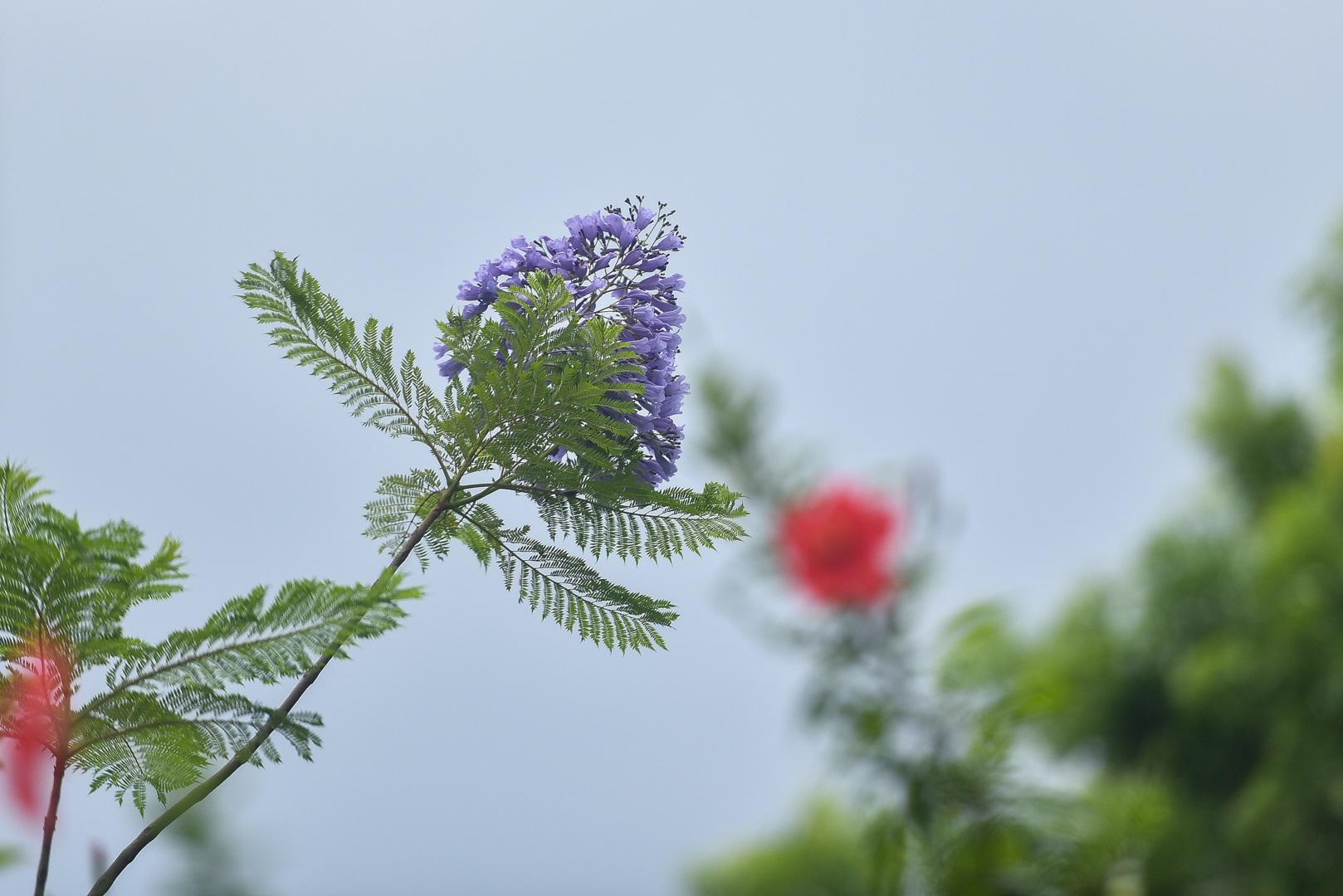 Thổn thức với thức hoa tím khiến người Hà Nội nhớ Đà Lạt - 13