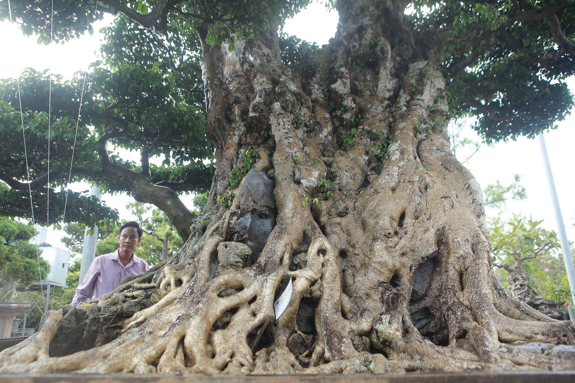 Ngọn cây sanh giá 28 tỷ đồng, vậy gốc cây đáng giá bao nhiêu? - 6