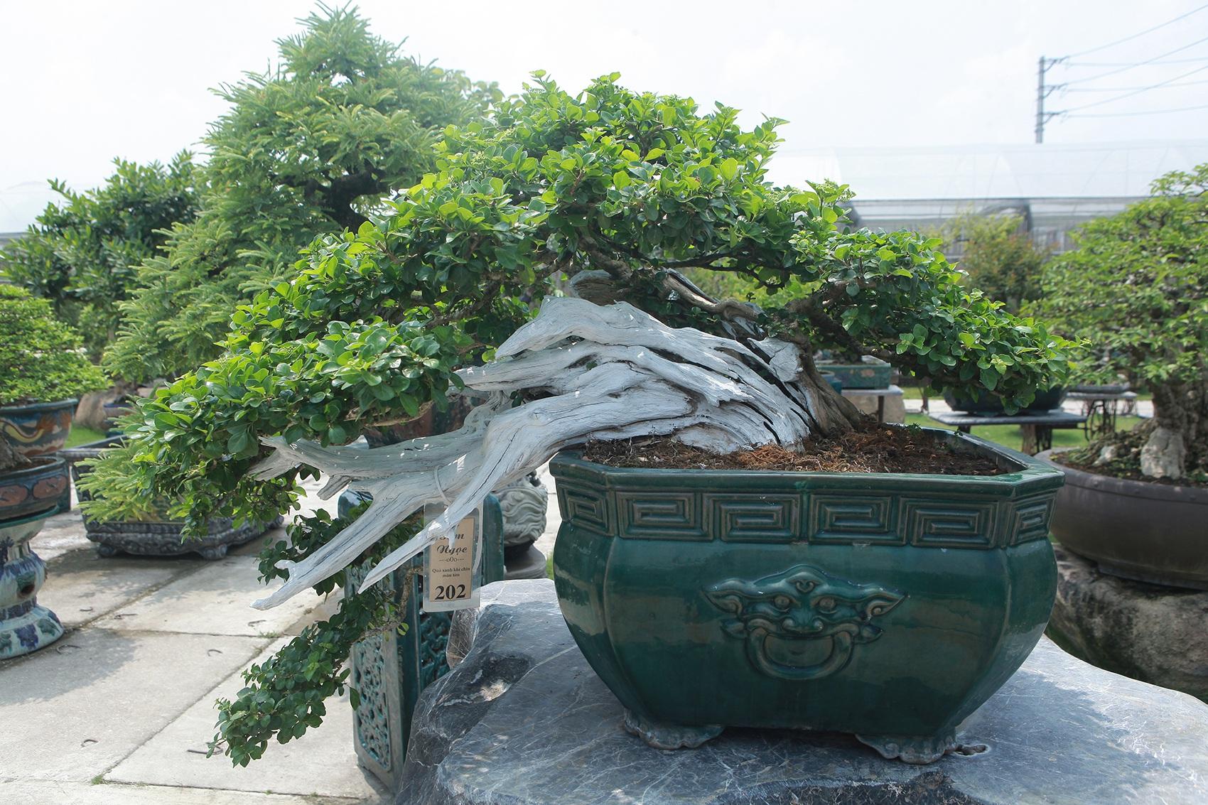 Mục sở thị khu vườn gần 1.000 cây cảnh bonsai hiếm có đất Hà Thành - 11