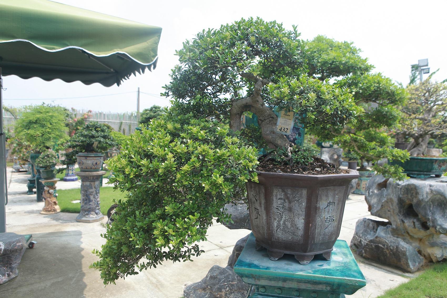 Mục sở thị khu vườn gần 1.000 cây cảnh bonsai hiếm có đất Hà Thành - 9