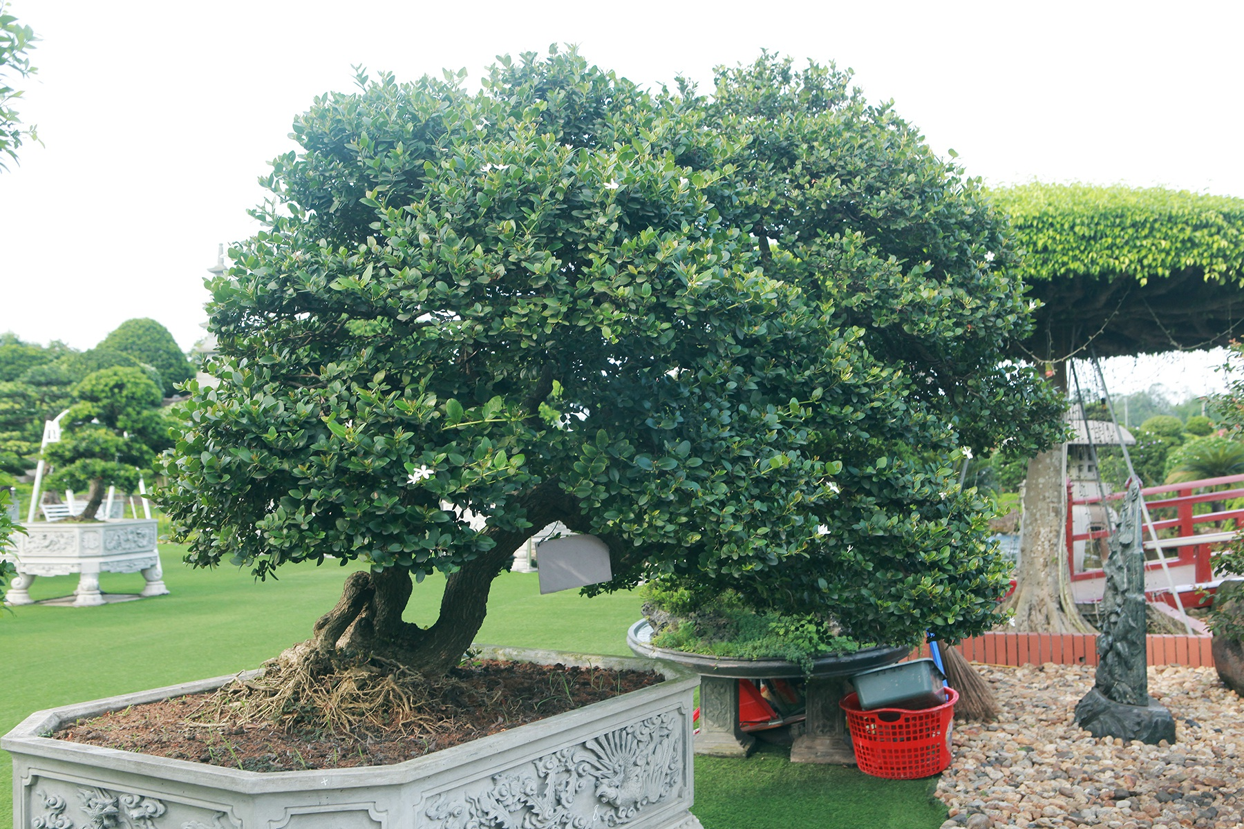 """Dàn sơ ri bonsai cổ thụ, trĩu quả giá tiền tỷ của """"tướng cướp hoàn lương"""" - 3"""