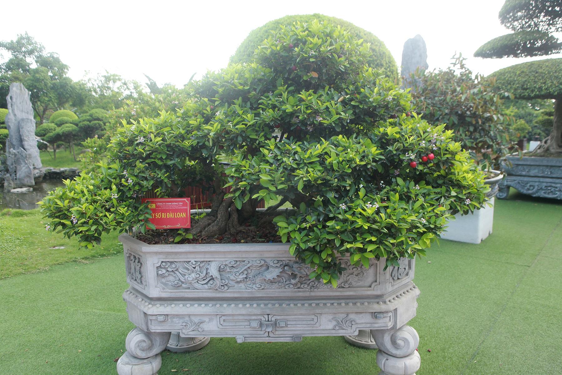 """Dàn sơ ri bonsai cổ thụ, trĩu quả giá tiền tỷ của """"tướng cướp hoàn lương"""" - 4"""