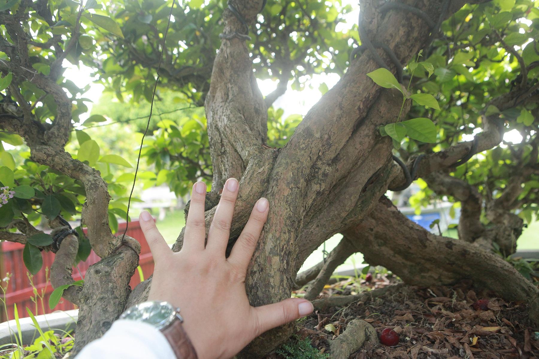"""Dàn sơ ri bonsai cổ thụ, trĩu quả giá tiền tỷ của """"tướng cướp hoàn lương"""" - 5"""