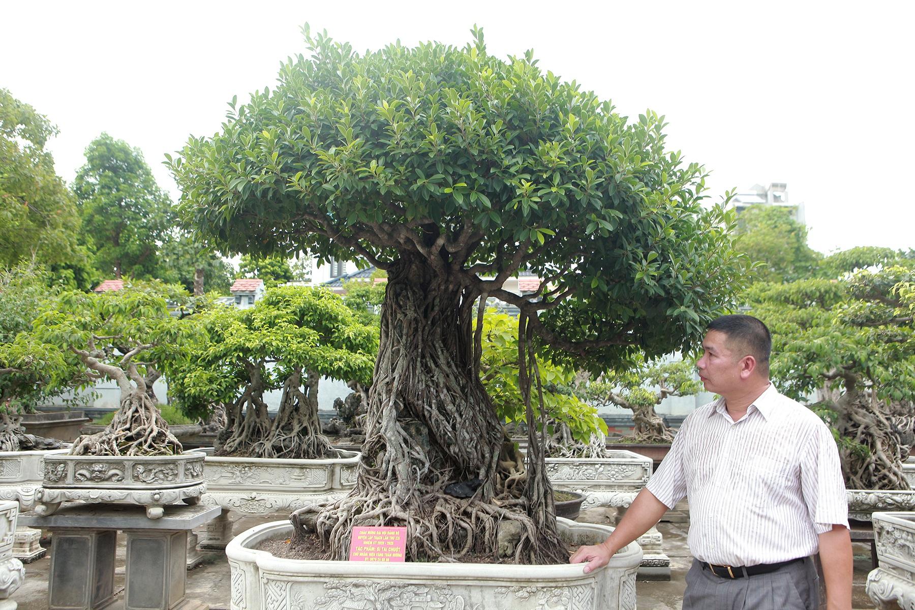 Chiêm ngưỡng bộ ba cây si cổ trị giá chục tỷ đồng của đại gia Vĩnh Phúc - 1