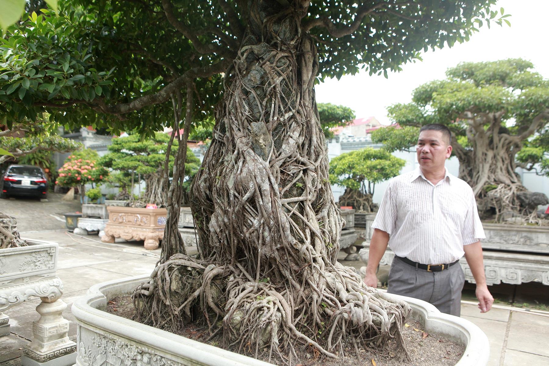 Chiêm ngưỡng bộ ba cây si cổ trị giá chục tỷ đồng của đại gia Vĩnh Phúc - 2