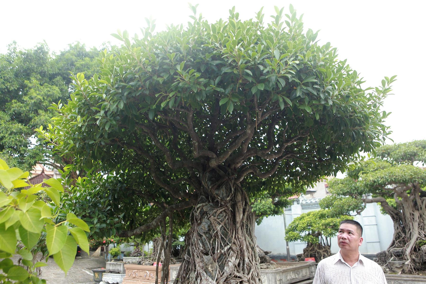 Chiêm ngưỡng bộ ba cây si cổ trị giá chục tỷ đồng của đại gia Vĩnh Phúc - 3
