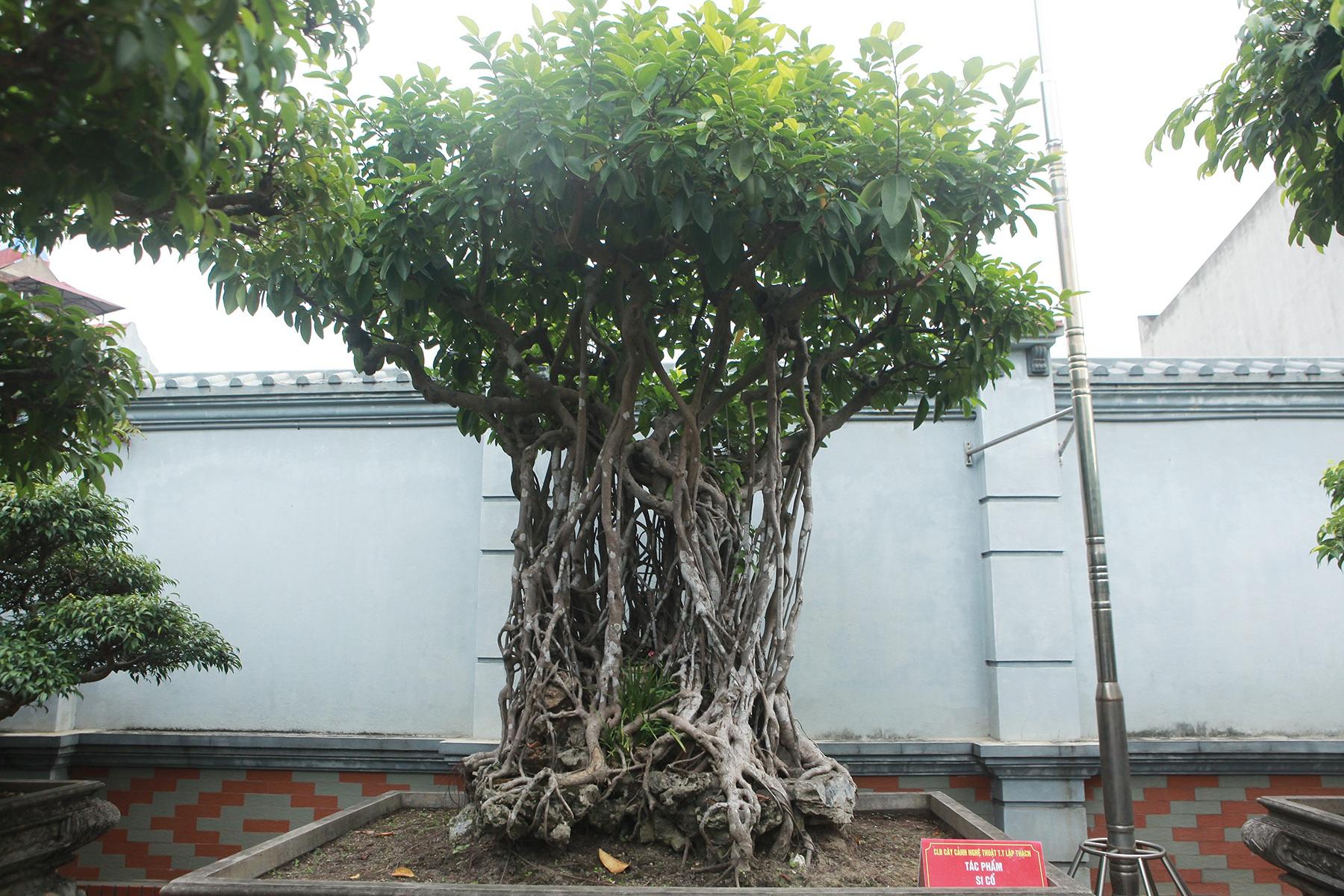 Chiêm ngưỡng bộ ba cây si cổ trị giá chục tỷ đồng của đại gia Vĩnh Phúc - 5
