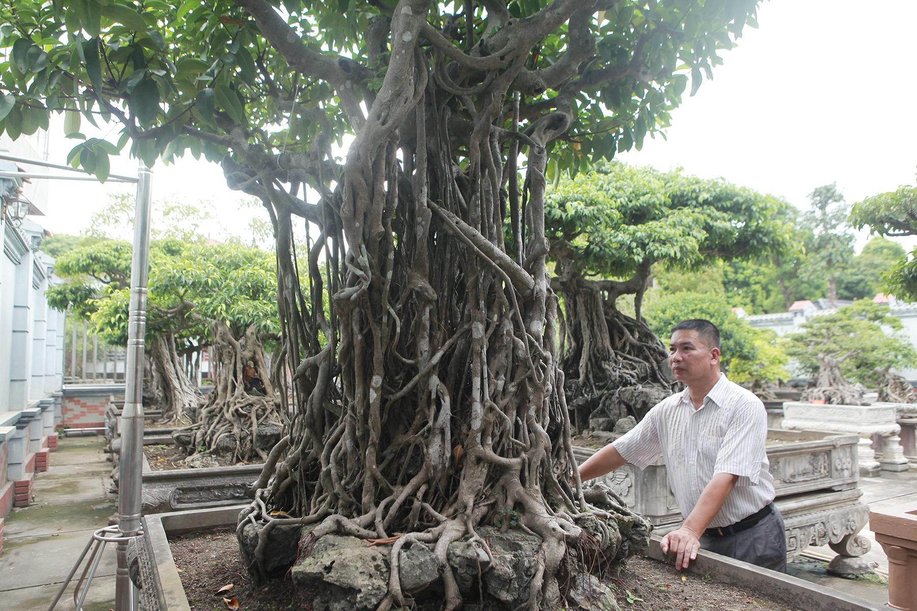 Chiêm ngưỡng bộ ba cây si cổ trị giá chục tỷ đồng của đại gia Vĩnh Phúc - 8