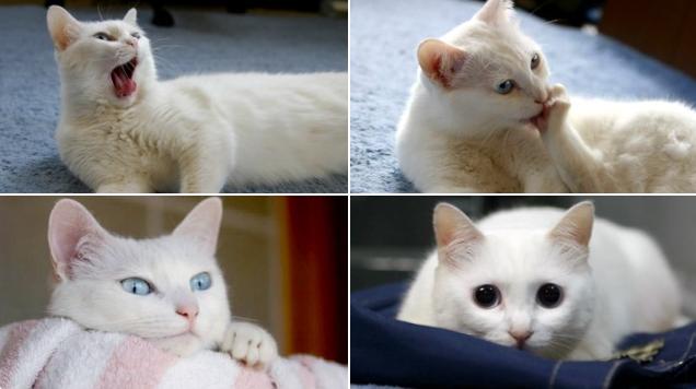 Nobiko - mèo siêu dài nổi tiếng qua đời ở tuổi 18 khiến dân mạng thổn thức - 2
