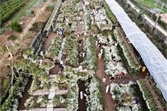 Hanoi daisy gardens attract visitors