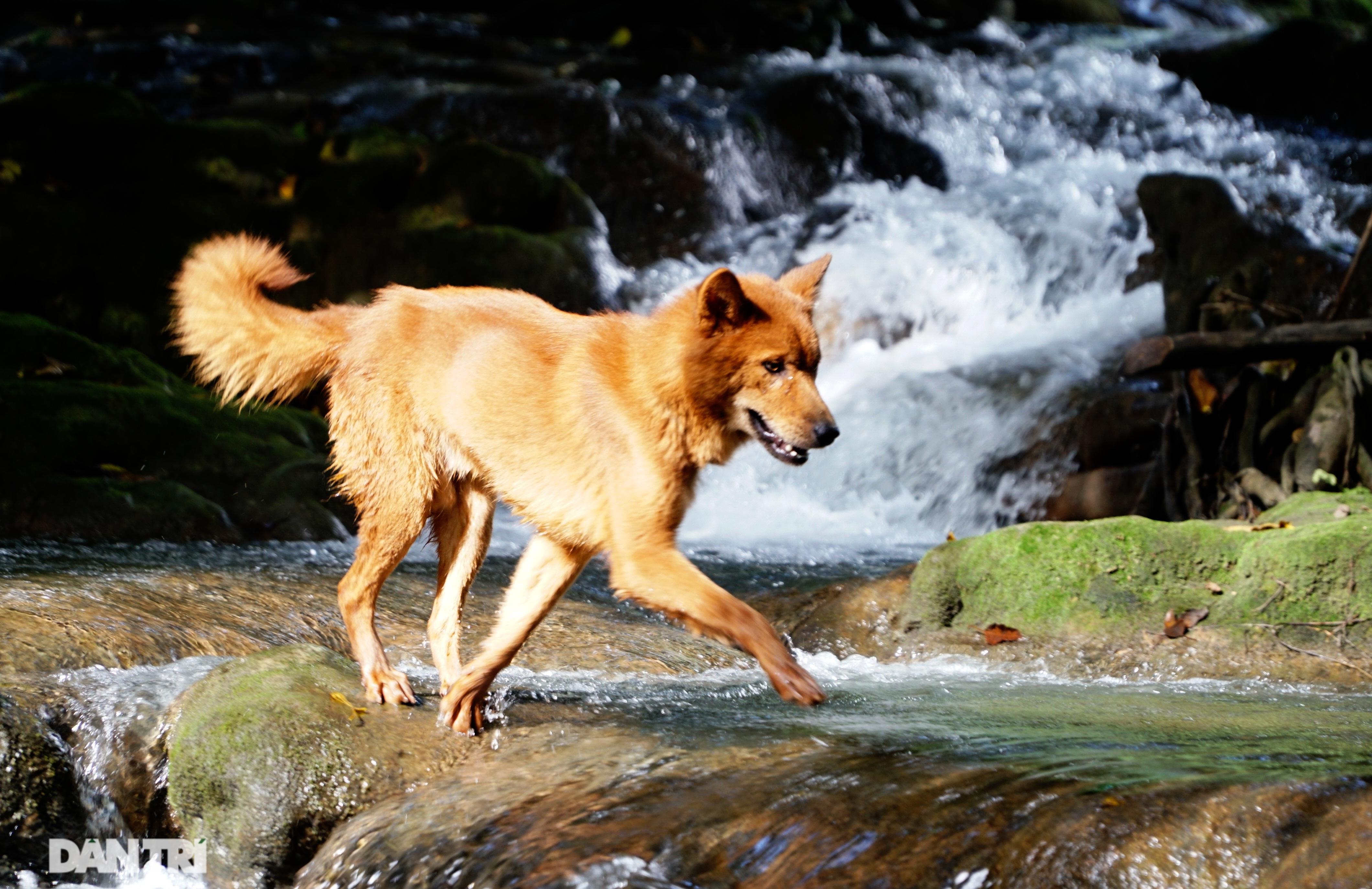 Hồi sinh giống chó săn cổ quý hiếm lừng danh đất Việt - 4
