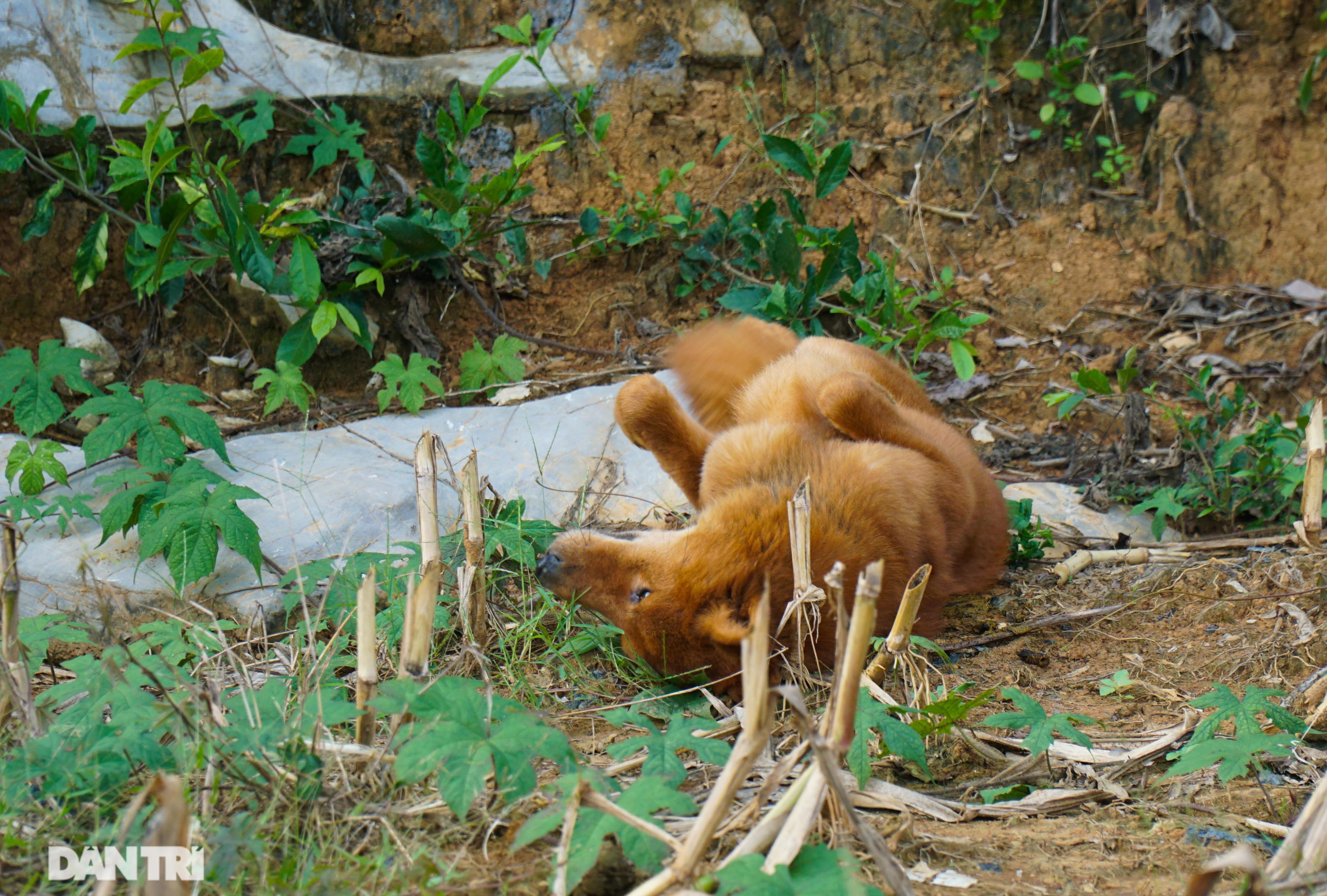 Hồi sinh giống chó săn cổ quý hiếm lừng danh đất Việt - 7
