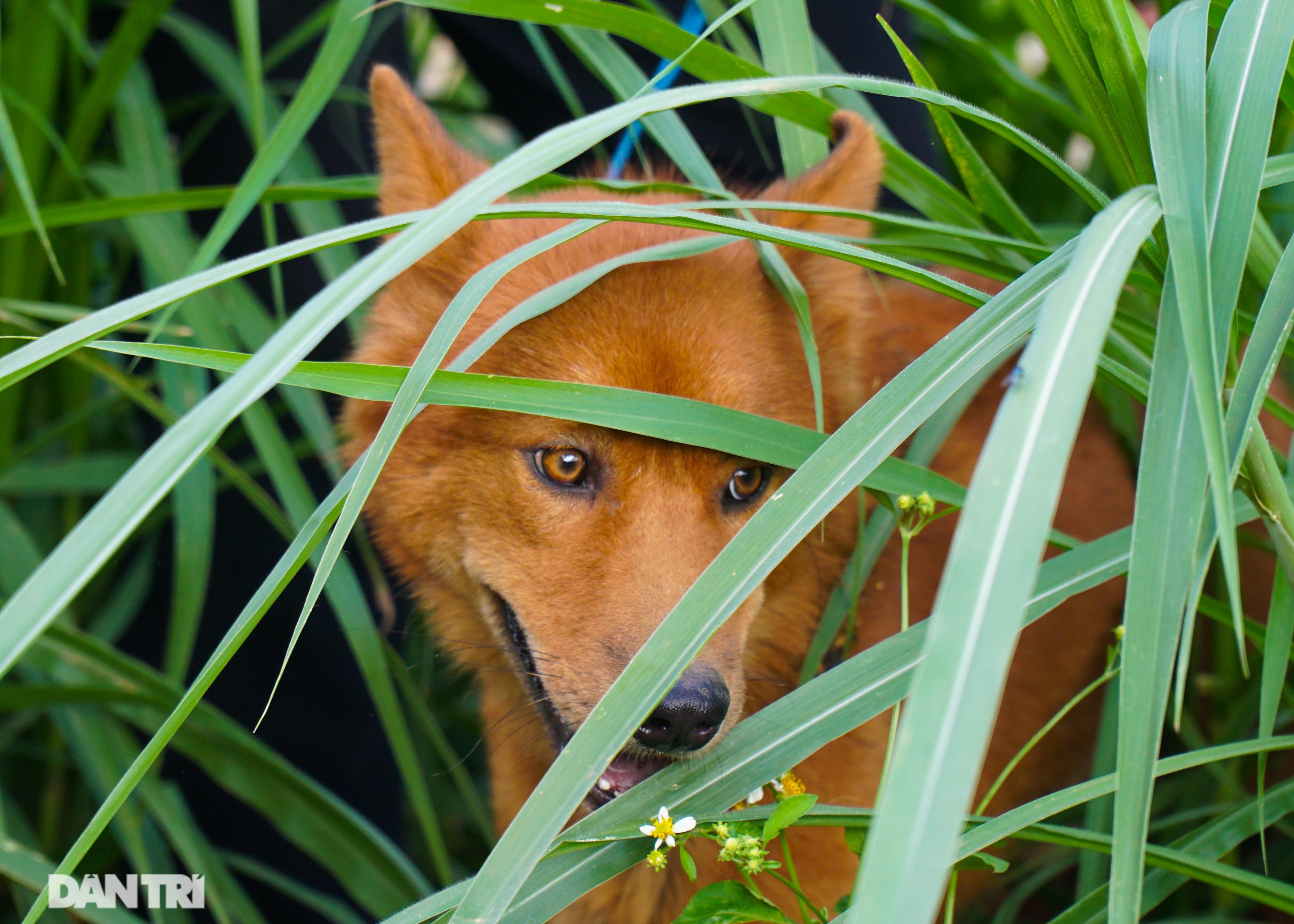 Hồi sinh giống chó săn cổ quý hiếm lừng danh đất Việt - 6