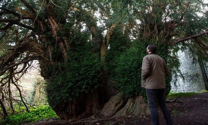 Kỳ lạ cây đại thụ cao gần 17 m chuyển giới sau 3.000 năm - 1