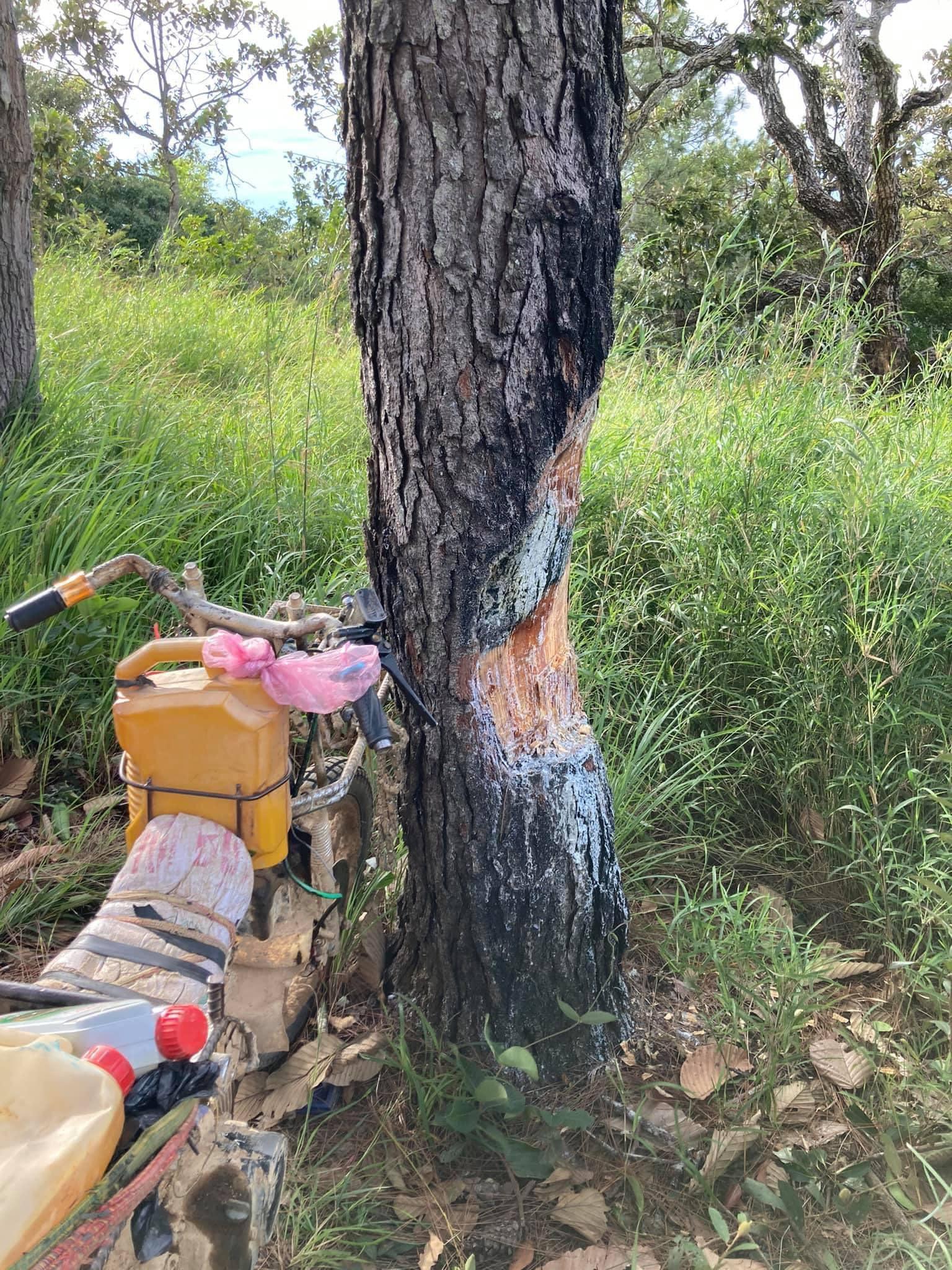 Cây thông bị phượt thủ xẻ thịt lấy nhựa nhóm lửa ở Tà Năng - Phan Dũng - 1