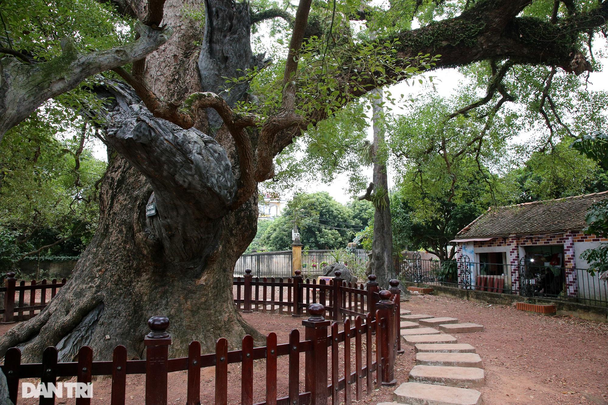 Cây dã hương kì vĩ lớn nhất thế giới tại Bắc Giang - 10