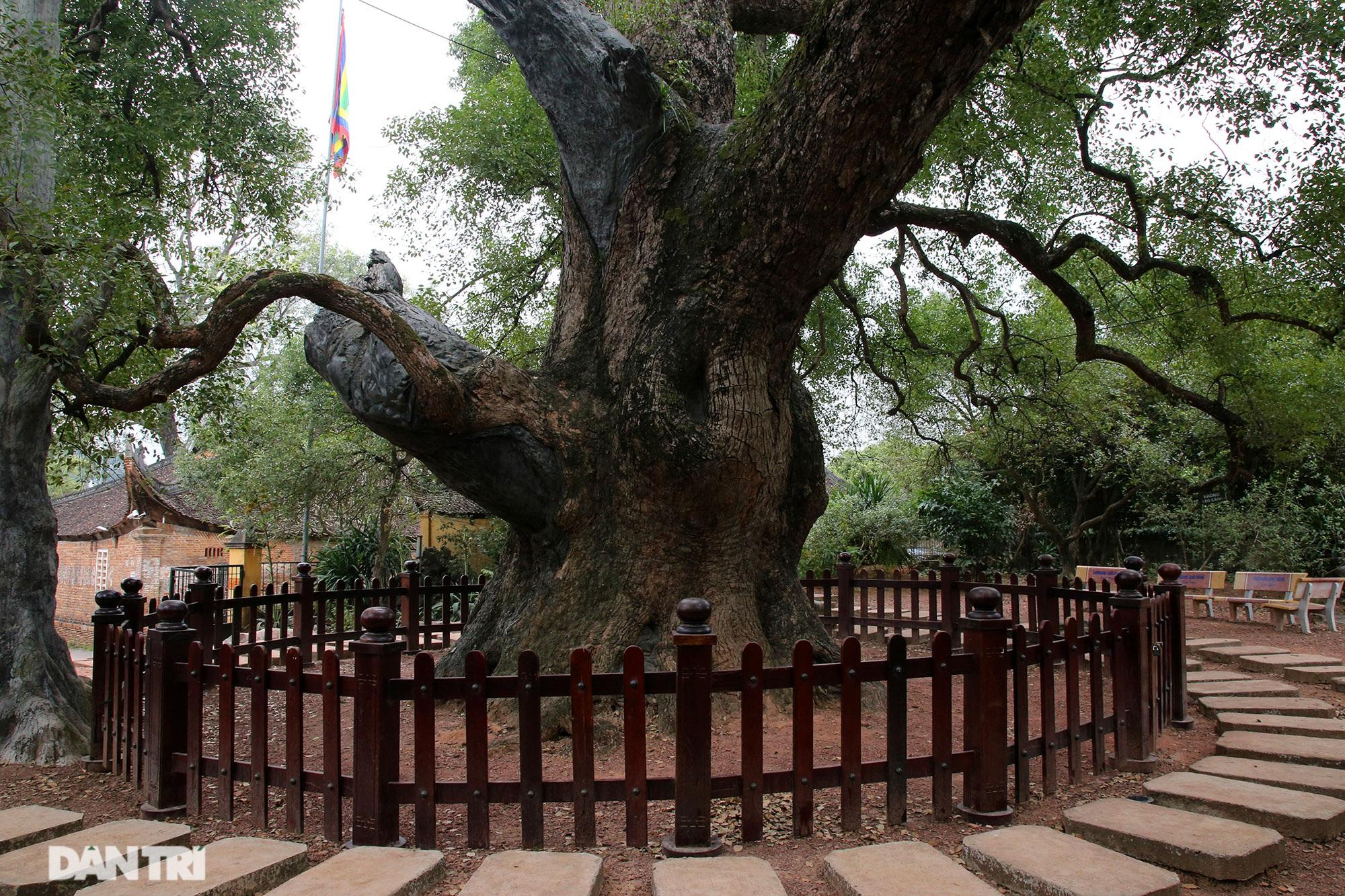 Cây dã hương kì vĩ lớn nhất thế giới tại Bắc Giang - 14