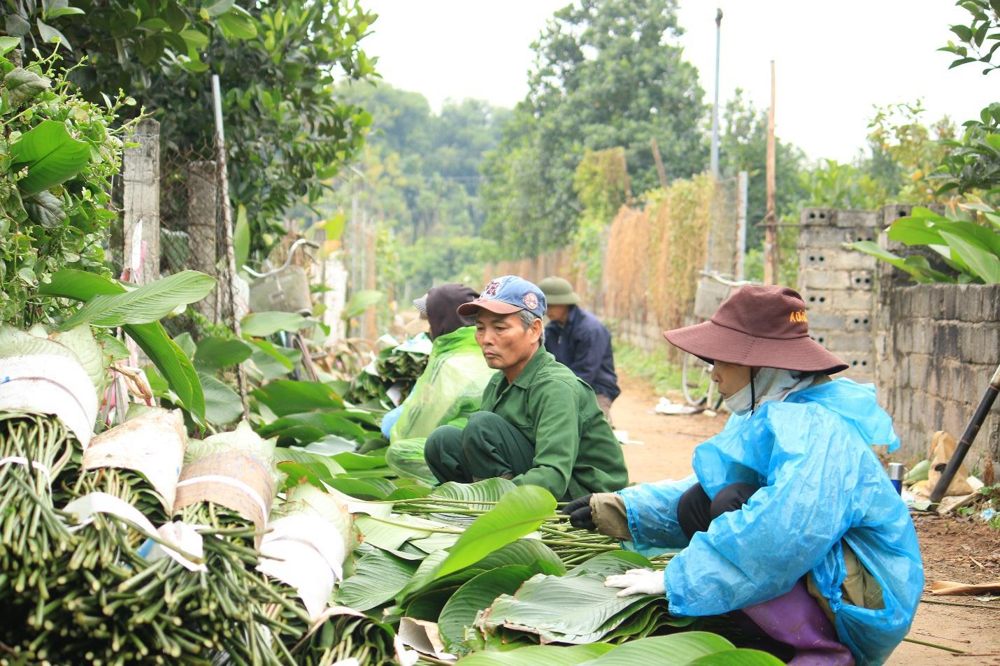 Ngôi làng cổ 400 năm trồng lá dong ở Hà Nội, người dân hái lá đếm tiền - 1