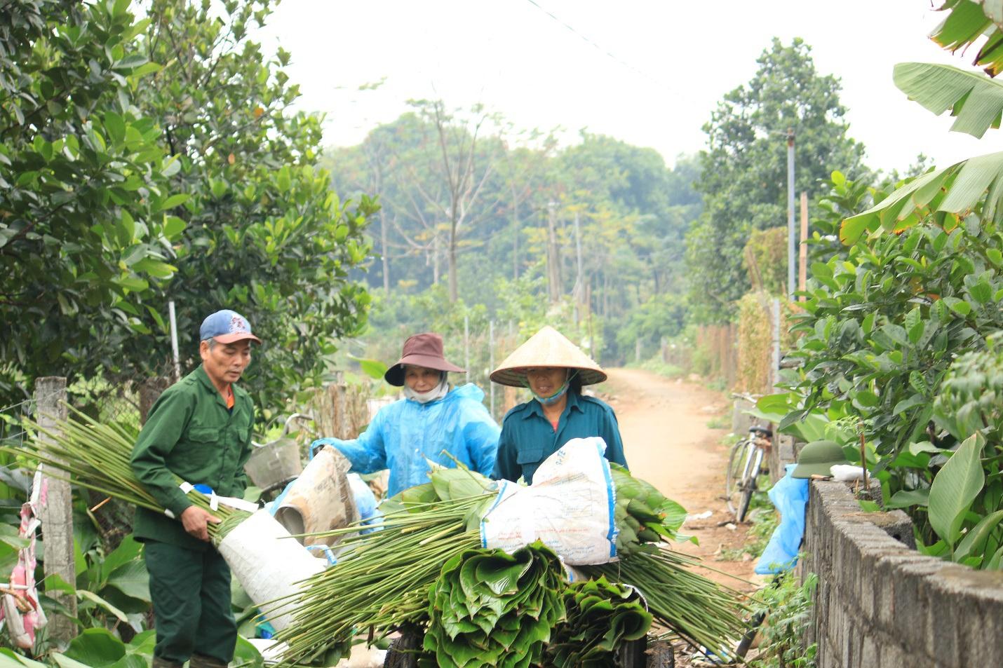 Ngôi làng cổ 400 năm trồng lá dong ở Hà Nội, người dân hái lá đếm tiền - 3