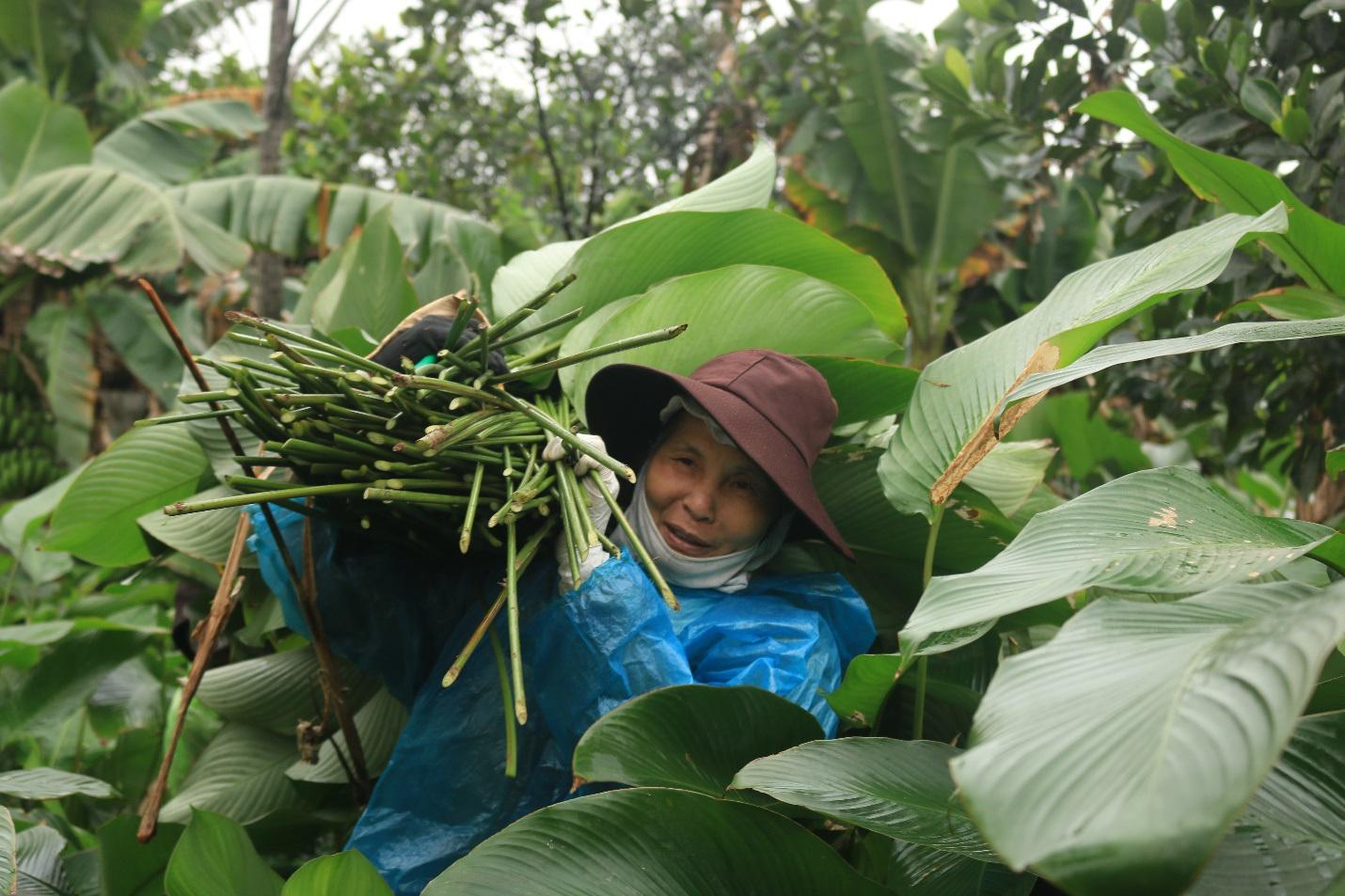 Ngôi làng cổ 400 năm trồng lá dong ở Hà Nội, người dân hái lá đếm tiền - 7