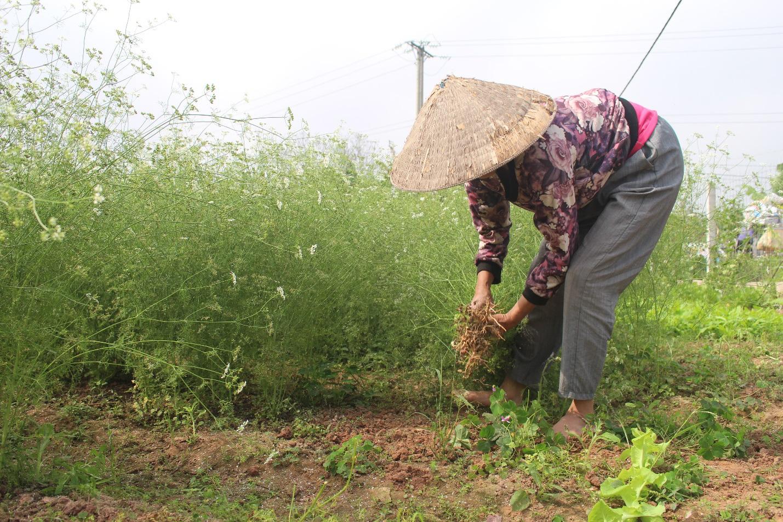 Ngôi làng Hà Nội trồng loại cây giải xui, chỉ thu hoạch 5 ngày cận Tết - 1