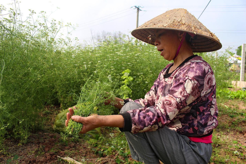 Ngôi làng Hà Nội trồng loại cây giải xui, chỉ thu hoạch 5 ngày cận Tết - 3