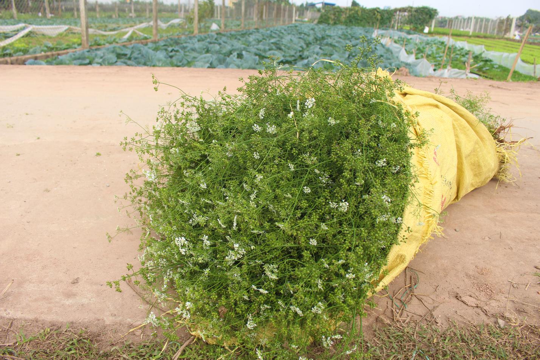 Ngôi làng Hà Nội trồng loại cây giải xui, chỉ thu hoạch 5 ngày cận Tết - 6