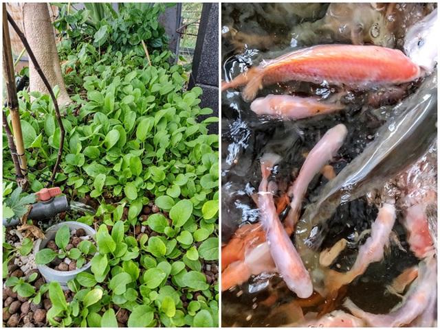 Cảnh trồng rau, nuôi gà, thả cá trên sân thượng của những nông dân phố - 12