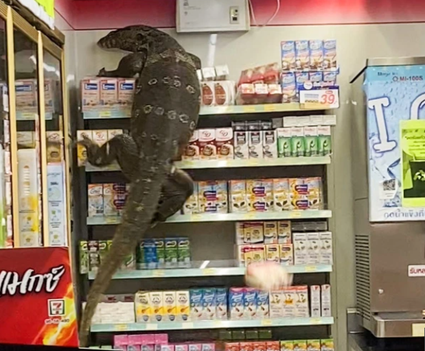 Sốc cảnh thằn lằn khổng lồ leo trèo trong cửa hàng tạp hóa như trong phim - 1