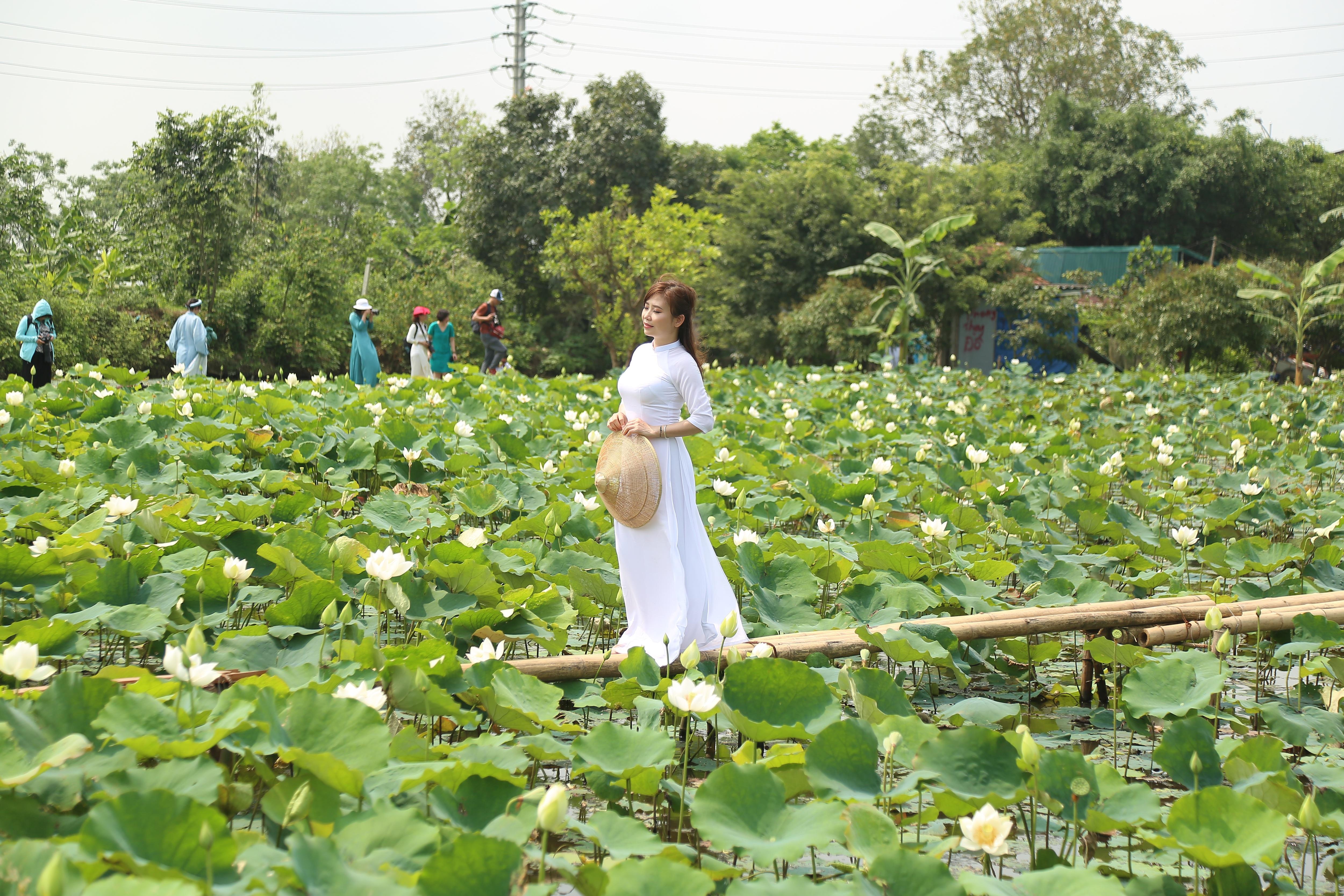 Hà Nội: Kiếm tiền triệu từ nghề trồng hoa sen trắng - 4