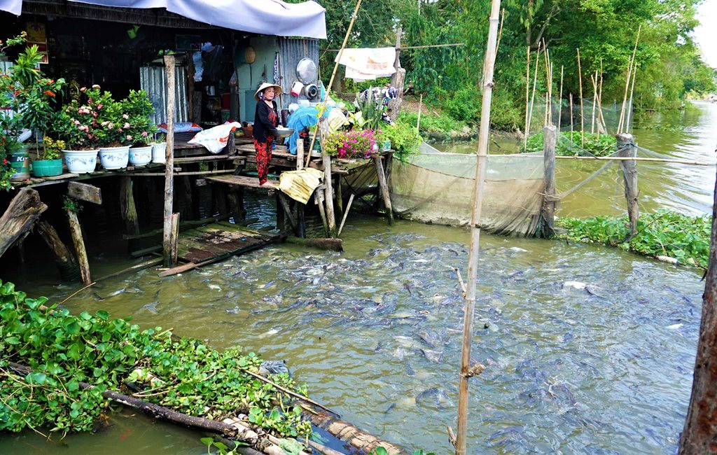 Đàn cá hàng ngàn con đến nhà dân xin thức ăn, chủ nhà gọi cá là con - 1