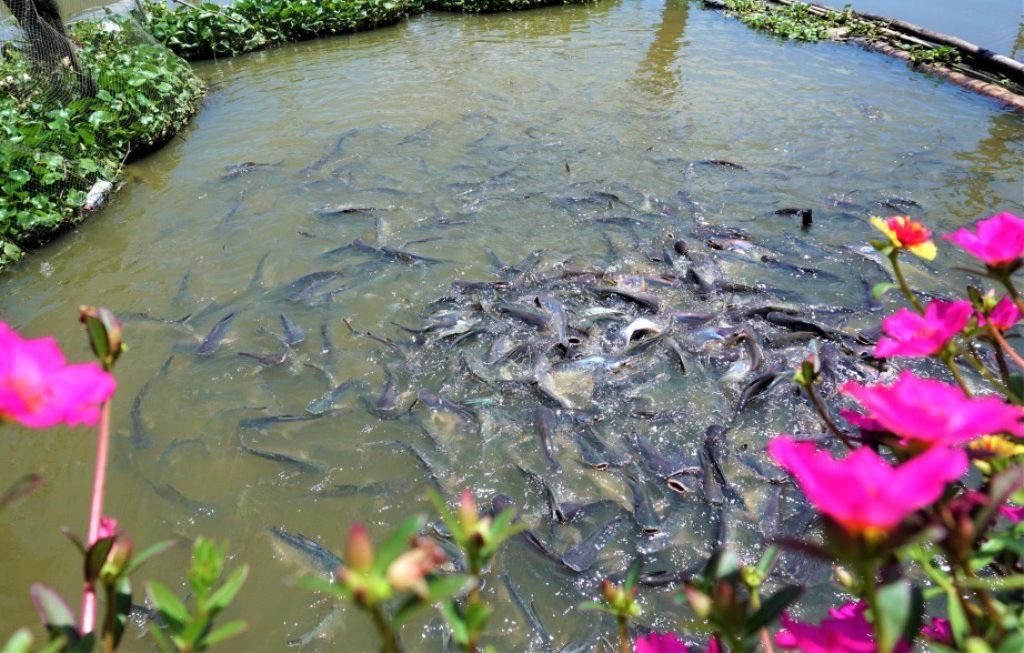 Đàn cá hàng ngàn con đến nhà dân xin thức ăn, chủ nhà gọi cá là con - 3