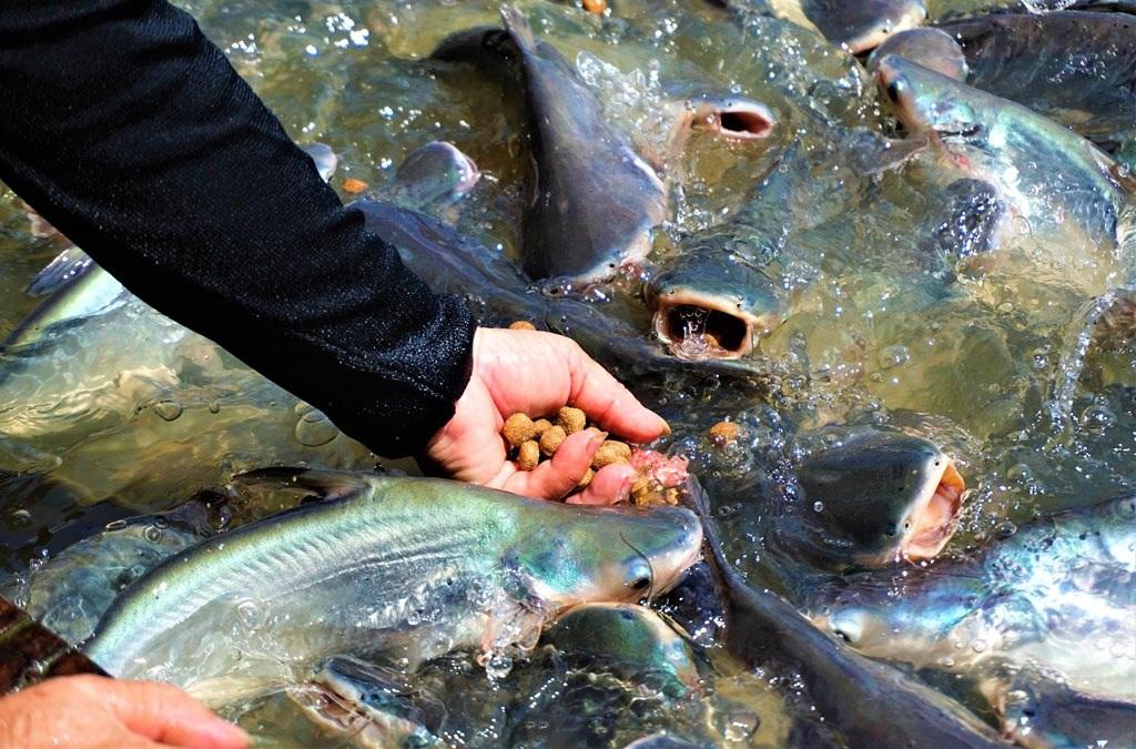 Đàn cá hàng ngàn con đến nhà dân xin thức ăn, chủ nhà gọi cá là con - 2