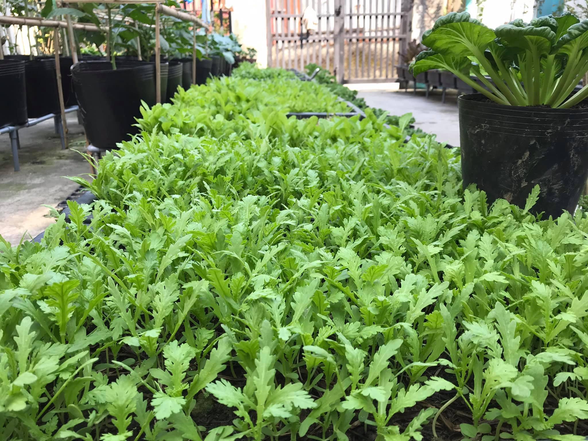 Vườn 60m2 đủ loại rau trái, vợ chồng trẻ ở Quảng Nam không phải đi chợ - 2