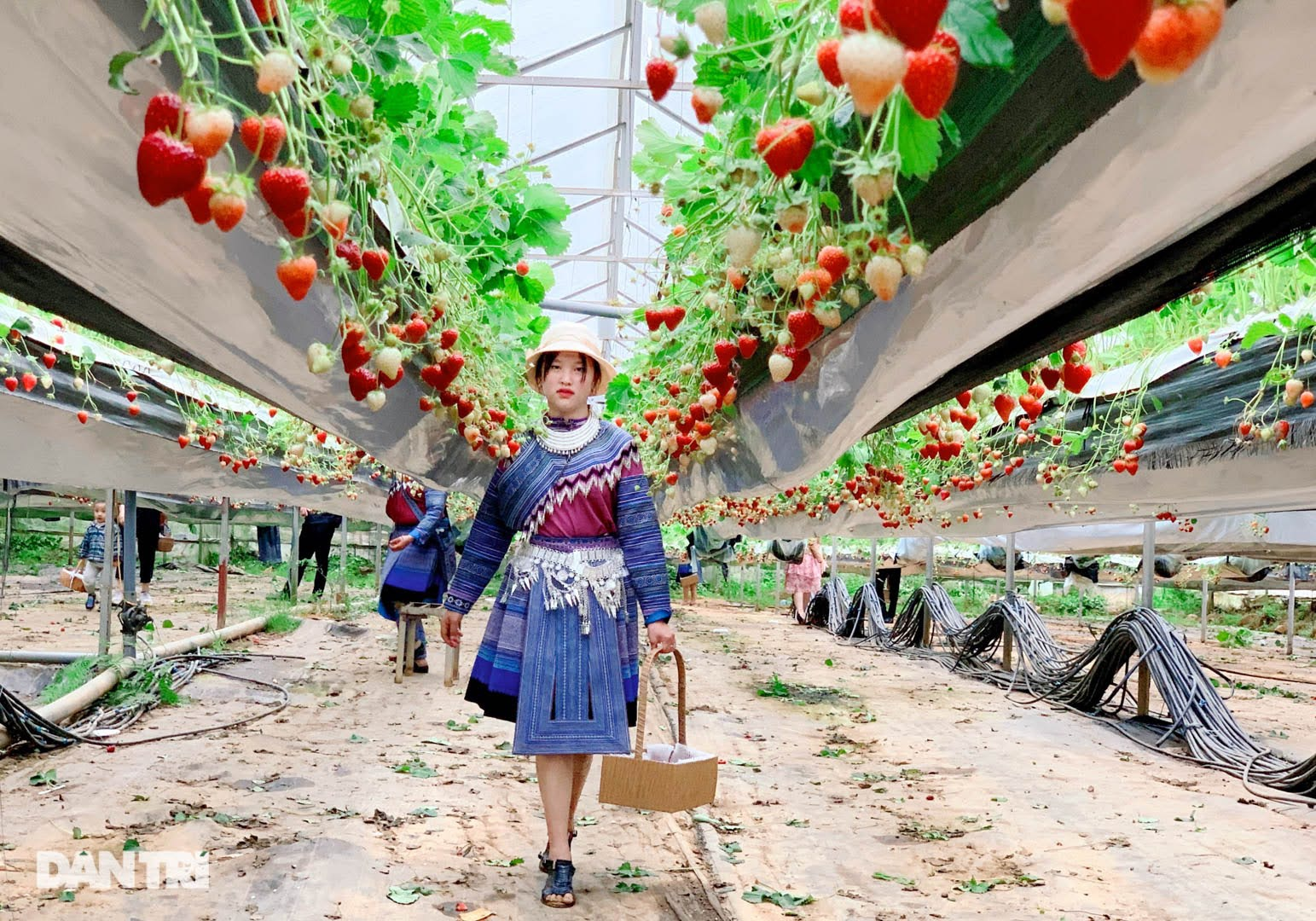 Bỏ việc, cắm sổ đỏ đi trồng dâu tây: Đón 3 vạn khách, thu 3 tỷ đồng mỗi năm - 3