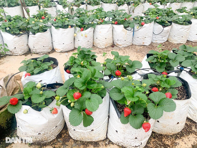 Bỏ việc, cắm sổ đỏ đi trồng dâu tây: Đón 3 vạn khách, thu 3 tỷ đồng mỗi năm - 8