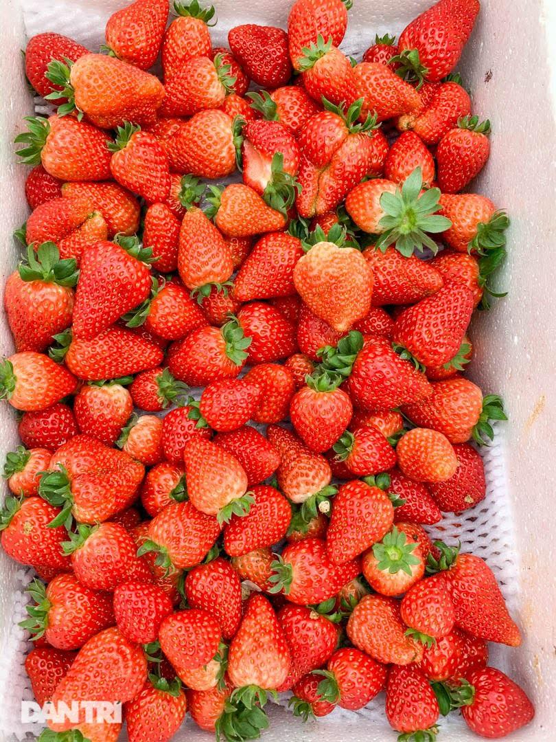Bỏ việc, cắm sổ đỏ đi trồng dâu tây: Đón 3 vạn khách, thu 3 tỷ đồng mỗi năm - 5