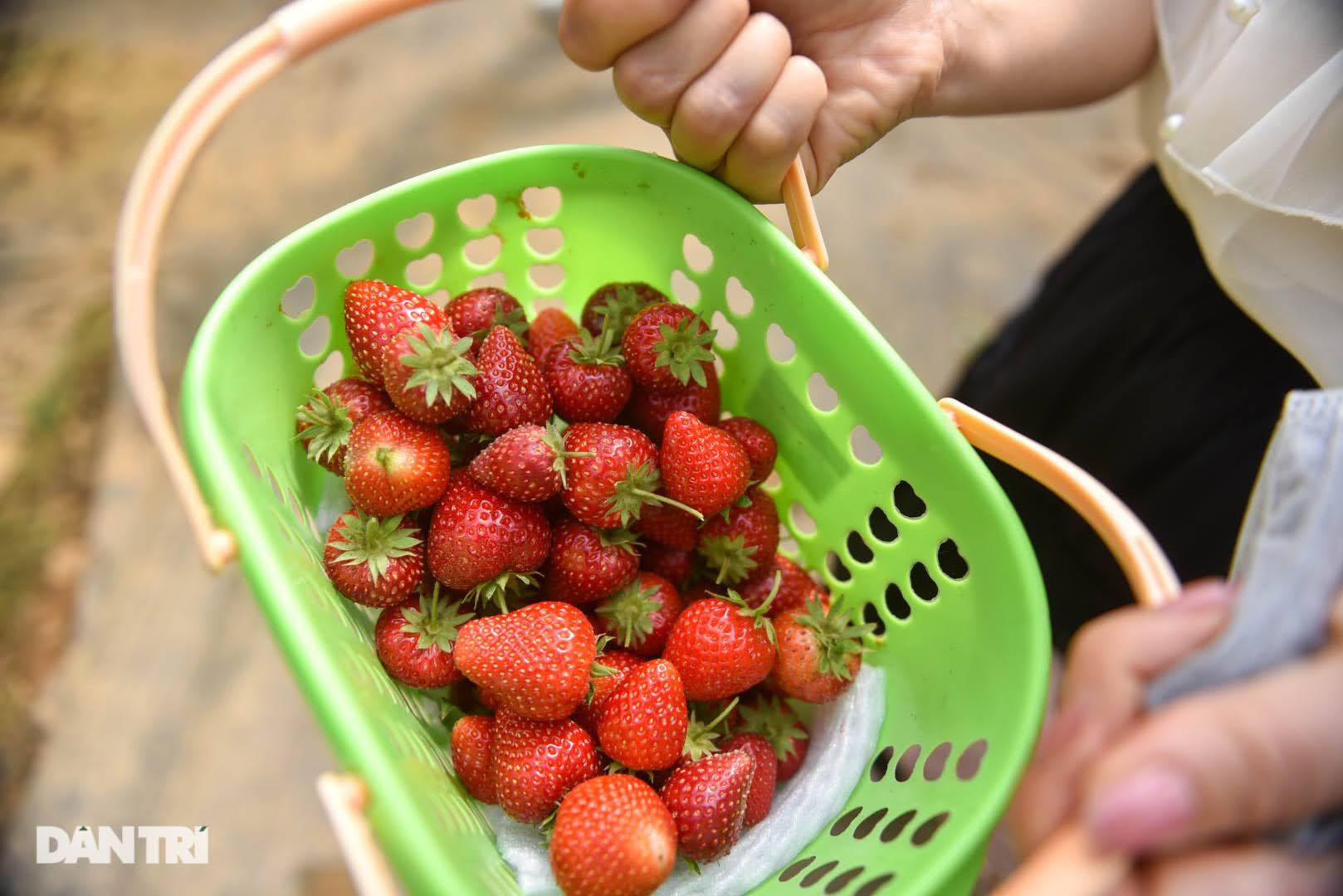 Bỏ việc, cắm sổ đỏ đi trồng dâu tây: Đón 3 vạn khách, thu 3 tỷ đồng mỗi năm - 4